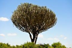 Cactus dans la savane africaine Photos stock