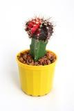 Cactus dans le bac Photographie stock