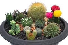 Cactus dans le bac d'isolement sur le fond blanc Photographie stock libre de droits