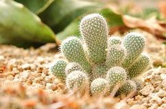 Cactus dans le désert Image libre de droits