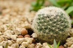 Cactus dans le désert Images stock