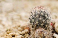 Cactus dans le désert Photo libre de droits