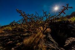 Cactus dans le désert avec le soleil de starburst et les cieux bleus Photos stock
