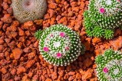 Cactus dans le désert de nature avec l'usine pointue d'épine de fleur Image libre de droits