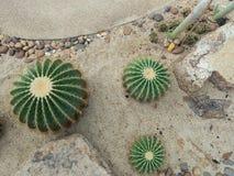 Cactus dans le jardin Photographie stock