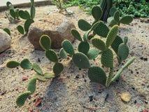 Cactus dans le jardin Image libre de droits