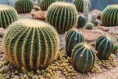 Cactus dans le jardin simulé de désert d'environnement Photographie stock