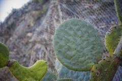 Cactus dans le port sur la côte ligurienne 2 Images libres de droits