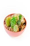 Cactus dans le pot Images stock