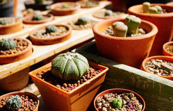 Cactus dans le pot Image libre de droits