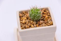Cactus dans le pot blanc en céramique Photographie stock libre de droits