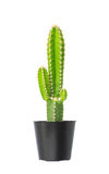 Cactus dans le pot de fleurs photo libre de droits