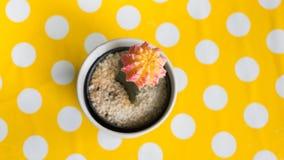 Cactus dans le pot sur la table jaune de point Image libre de droits