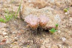 Cactus dans le wildness en Amérique Image libre de droits