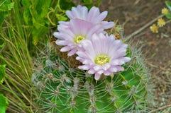 Cactus dans le wildness en Amérique Photos stock