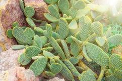 Cactus dans les déserts tropicaux de la fin de l'Amérique du Nord  images stock