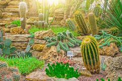 Cactus dans les déserts tropicaux de la fin de l'Amérique du Nord  photo libre de droits