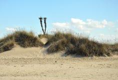 Cactus dans les dunes Photographie stock libre de droits