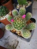 Cactus dans ma chambre Photo stock