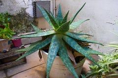 Cactus dans mon arrière-cour photo stock
