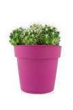 Cactus dans un bac pourpré images stock