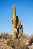 Cactus dans un horizontal de désert, Argentine. Photographie stock libre de droits