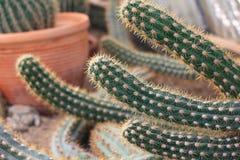Cactus dans un jardin Photographie stock