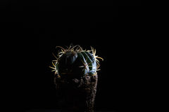 Cactus on a dark background. Cactus on dark background with bright thorns Stock Images