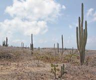 Cactus de Aruba Foto de archivo libre de regalías