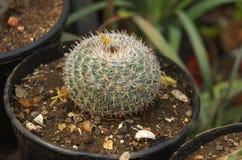 Cactus de Bareel Photographie stock libre de droits