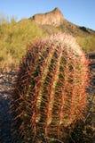 Cactus de baril Photos libres de droits