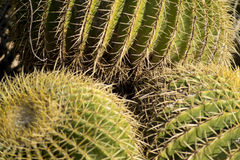 Cactus de baril Photographie stock libre de droits