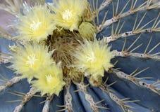 Cactus de baril bleu du Mexique central images libres de droits