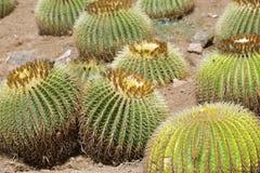 Cactus de baril d'or Photo stock