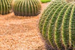 Cactus de baril d'or Photo libre de droits