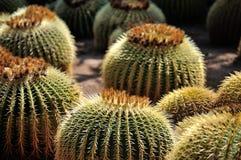 Cactus de baril d'or Image libre de droits