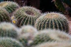 Cactus de baril d'or cultivés Photographie stock