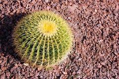 Cactus de baril dans Yuma, Arizona Image libre de droits