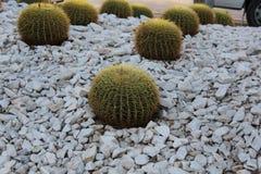 Cactus de barril de Golder Imagen de archivo libre de regalías