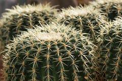 Cactus de barril de oro en la grava en jardín botánico Fotografía de archivo