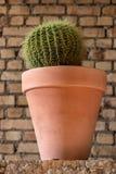 Cactus de barril de oro en un pote de arcilla Foto de archivo libre de regalías