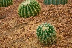 Cactus de barril de oro o bola de oro en jardín botánico Foto de archivo libre de regalías