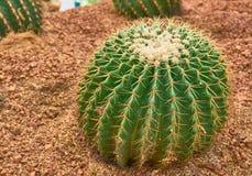 Cactus de barril de oro o bola de oro en jardín botánico Fotografía de archivo libre de regalías