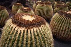 Cactus de barril del oro Fotografía de archivo