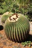 Cactus de barril dos que crece en jard?n bot?nico en Oahu, HI imágenes de archivo libres de regalías