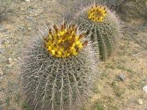 Cactus de barril floreciente fotografía de archivo libre de regalías