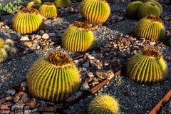 Cactus de barril de oro con luz del sol fotos de archivo libres de regalías