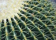Cactus de barril de oro en el desierto foto de archivo