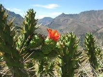 Cactus in de bergen Royalty-vrije Stock Afbeeldingen