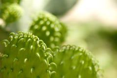 Cactus de chéri du Texas Photographie stock
